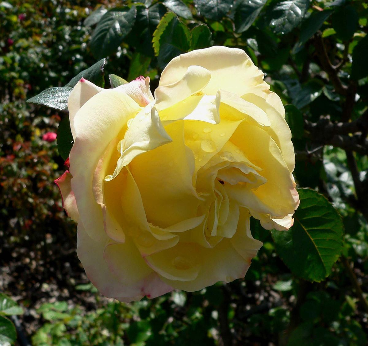 Garden roses  Wikipedia
