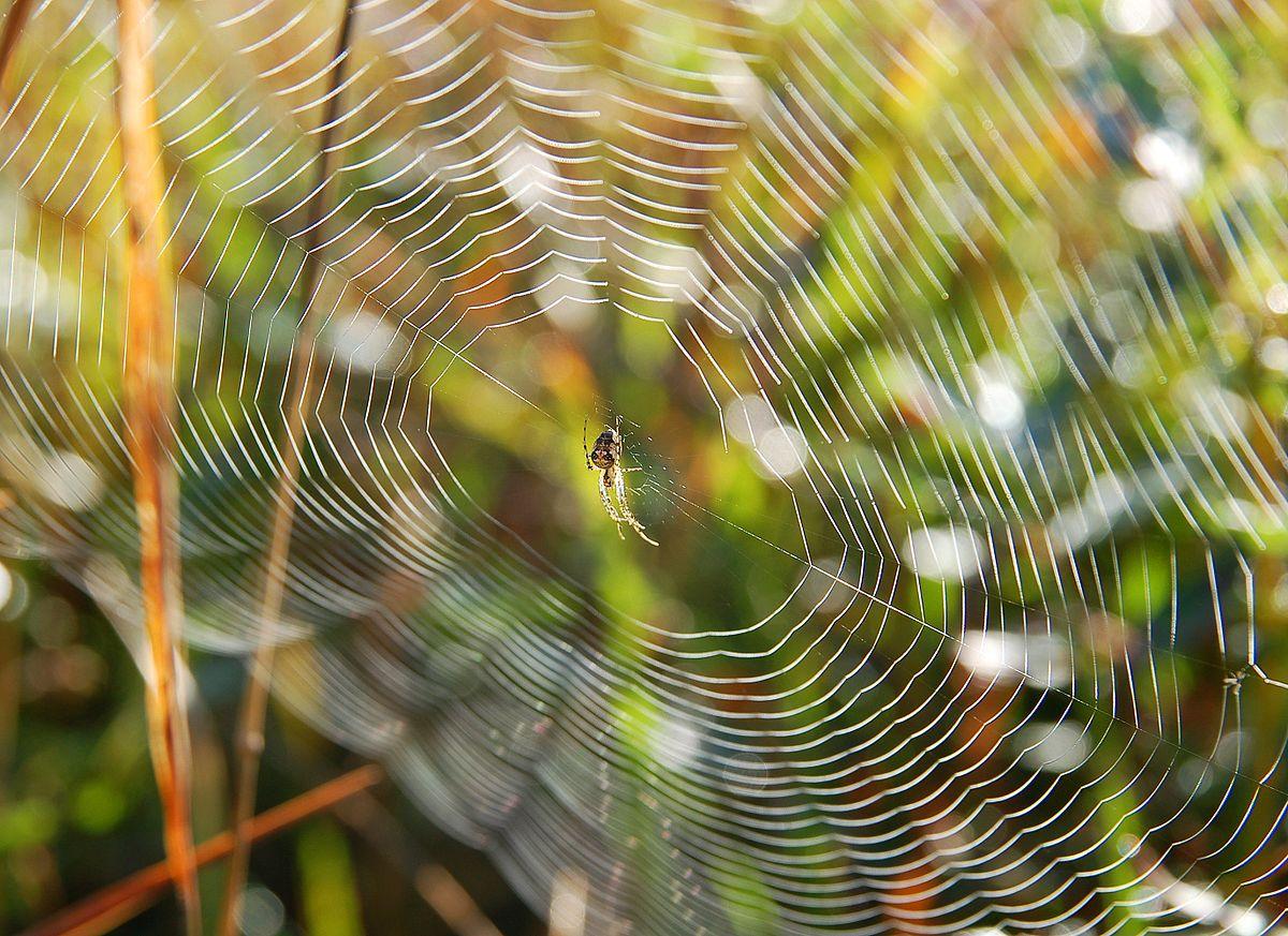 Spinnennetz  Wiktionary