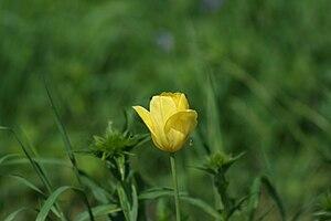 Yellow tulip Русский: Желтый тюльпан