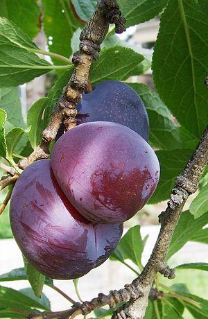3 blood plums on tree
