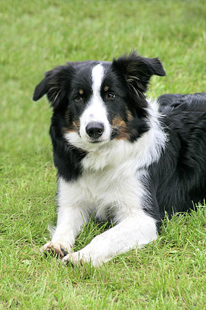 English: Border collie dog Deutsch: Border Col...