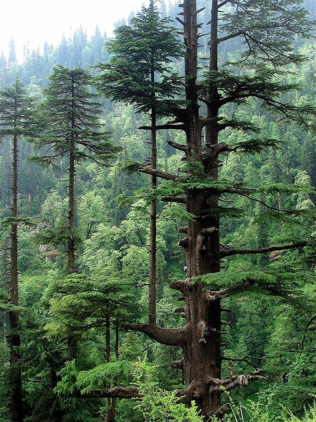 HimalayaZeder  Wikipedia