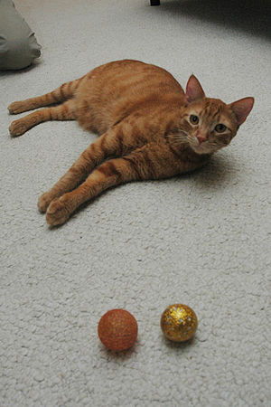 Jambo looks up from a playful session with his...