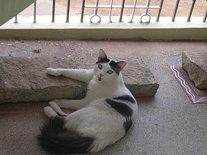 English: Shot of Taci cat