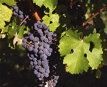 Cabernet Sauvignon grape cluster, shown by DNA...