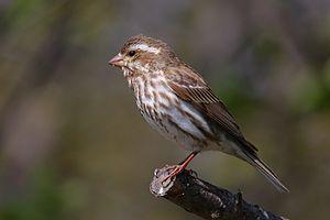 Purple Finch (Carpodacus purpureus) female, Ca...