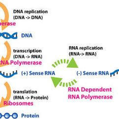 Virus Diagram Worksheet Magnetic Door Lock Circuit Central Dogma Of Molecular Biology - Wikipedia