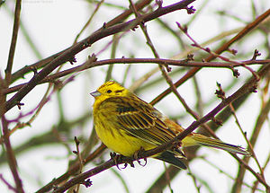 Yellowhammer, a declining species but still th...