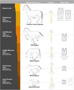 English: Evolution of horse
