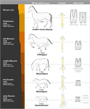 Image result for horse evolution