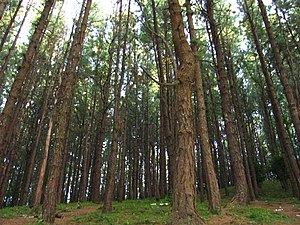 English: Cool, misty pine forest in Kuttikkanam