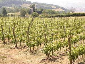Vineyard in the Italian wine region of the Veneto