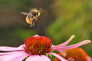 English: The early bumblebee (Bombus pratorum)...