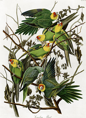 Extinct Carolina Parakeet