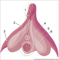 https://i0.wp.com/upload.wikimedia.org/wikipedia/commons/thumb/d/de/Clitoris_inner_anatomy_numbers.png/250px-Clitoris_inner_anatomy_numbers.png