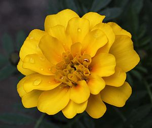 English: Yellow French marigold flower (Tagete...