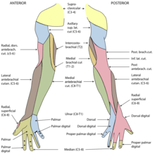 radial nerve diagram is a venn graphic organizer wikipedia cutaneous innervation of the right upper extremity areas innervated by are colored in pink