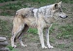 Mexican Wolf 065.jpg