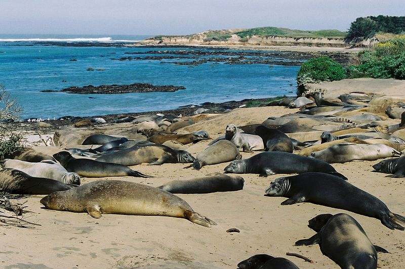 File:Elephant Seals (2).jpg