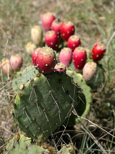 File:Prickly Pear Closeup.jpg