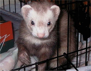 English: One of my Ferrets, his name is Cincin