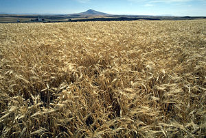 Barley is a major animal feed crop as well as supply for the beer and distilling industries.