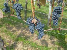 Blaufränkisch grape
