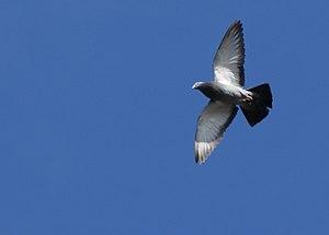 English: Columbidae - pigeon flying overhead