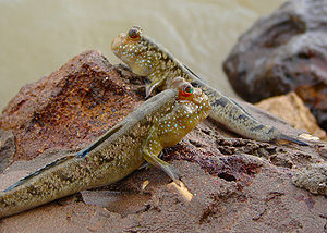 English: Mudskippers photographed on the shore...