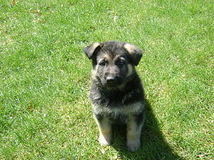 Hunter at 6 weeks old and still in the furry, ...