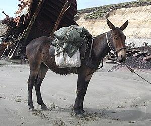 a mule