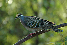 The Common Bronzewing has a widespread distribution across all of Australia and lives in most habitat types except dense rainforest and the driest deserts