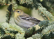 Maine Fall Foliage Wallpaper Blackpoll Warbler Wikipedia