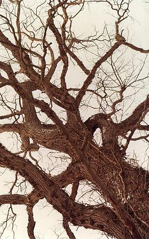 English: Dutch Elm Disease strikes Badingham O...