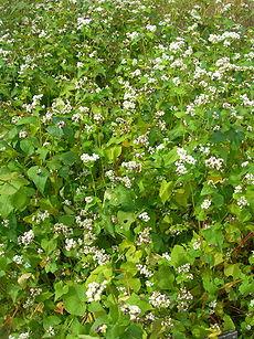 Sarrasin (Fagopyrum sagittatum) en fleurs