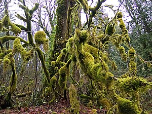 Dense moss colonies in a cool coastal forest