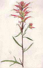 Castilleja linariifolia  Wikipedia