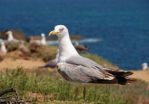 An adult seagull (Larus michahellis)