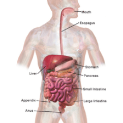 Worm Diagram Labeled Food Plate Human Digestive System - Wikipedia
