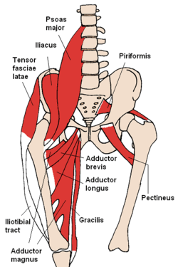 upper leg muscles diagram 7 way rv plug wiring psoas major muscle wikipedia anterior hip 2 png