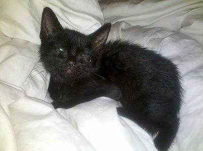 Cute Little Gray Cat For Wallpaper Kitten Wikipedia