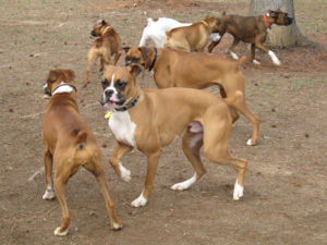A group of Boxers at the January 2007 Atlanta ...