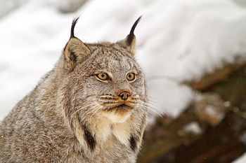 English: Canada lynx by Michael Zahra.