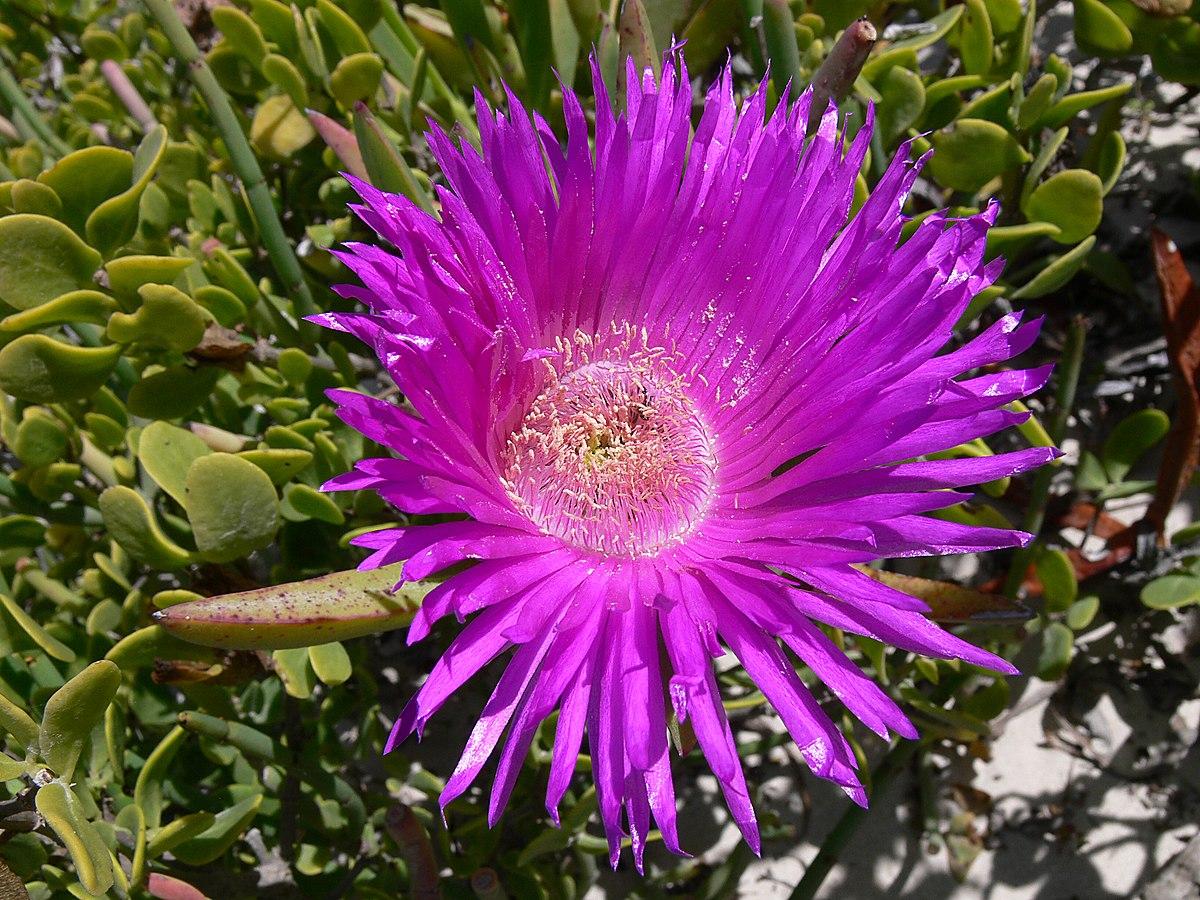 Carpobrotus acinaciformis  Wikipedia la enciclopedia libre
