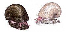 鱗角腹足蝸牛 - 維基百科。自由的百科全書