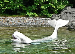 A Beluga Whale in the shallow waters of the Vancouver Aquarium