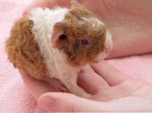 Guinea Pig baby. About 8 hours old.