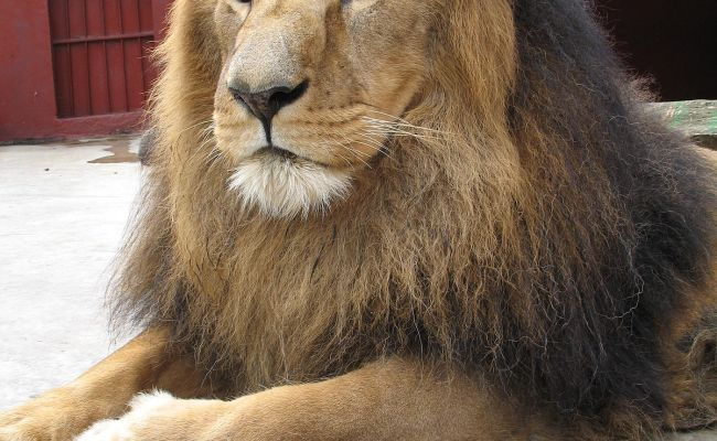 Panthera Leo Abyssinica Wikipedia La Enciclopedia Libre