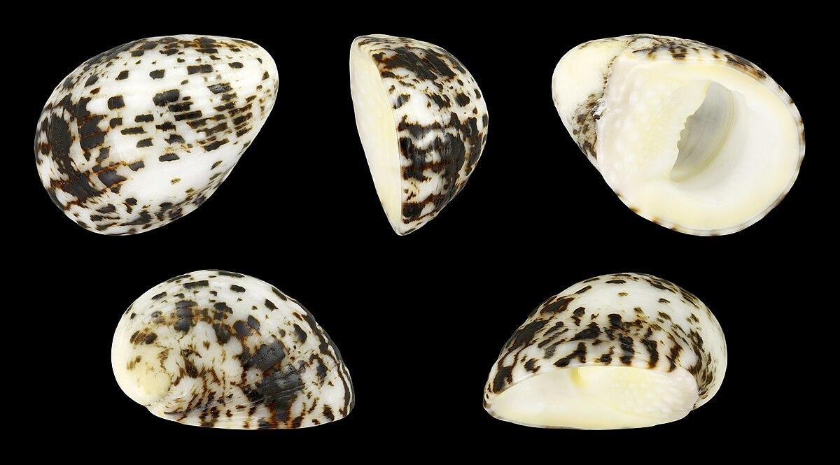 Nerita albicilla  Wikipedia