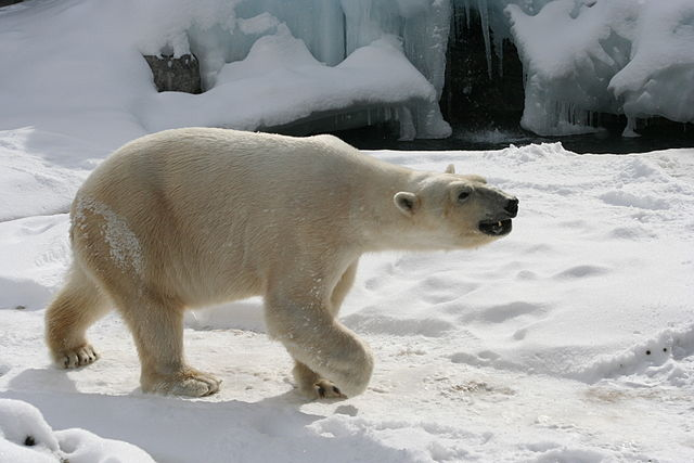 Canada's abysmal record on endangered species protection includes organizing to prevent the ban on the international trade of polar bear parts.